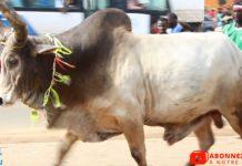 Tamkharite 2020,🚨Alerte🚨 100 % Ambiance compétition à L'arrivée des Bœufs des ASC de thiaroye Sur Mer