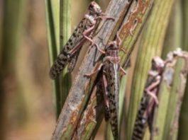 Riziculture de la vallée des rats et des criquets dévastent les champs