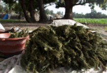 Un maître coranique de 68 ans possédait 1000 plantes de chanvre indien