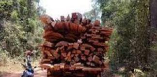 Trafic de bois en Casamance : 45.000 ha de forêts perdus chaque année
