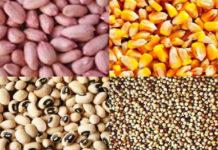 Monopole des multinationales sur les productions de semences: A Sédhiou, les organisations paysannes dénoncent