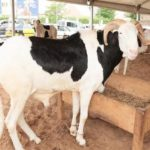 Faible affluence et cherté des moutons à Saint-Louis : des pères de famille en situation de sommeil trouble