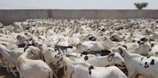 Mouton de Tabaski : Vendeurs et clients ne parlent le même langage